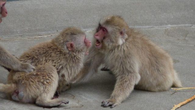 サルの抗争